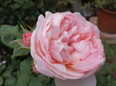 2020年、我が家のバラが咲きました〜②イングリッシュローズの儚さについて思う